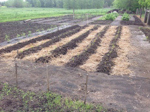 sweet potato rows