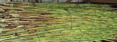 our-cane-sorghum